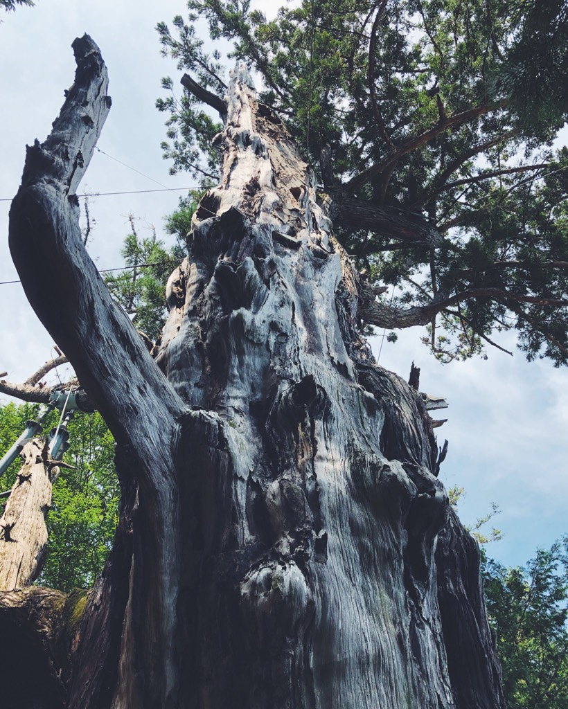 老木の巨大な杉