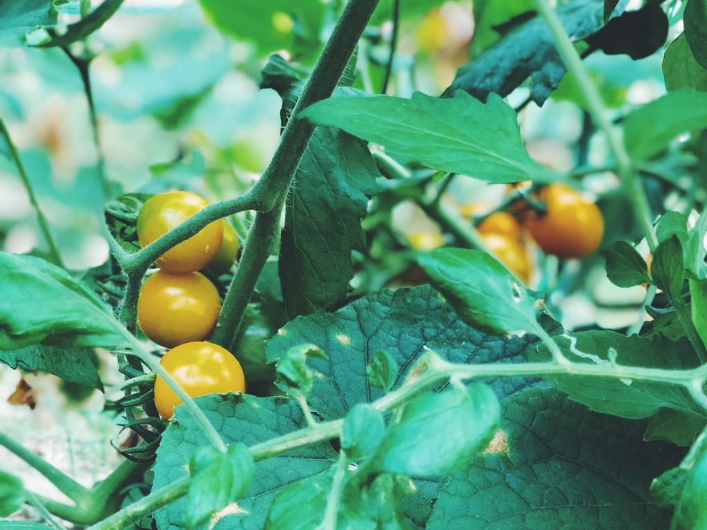 家庭菜園でできたトマト